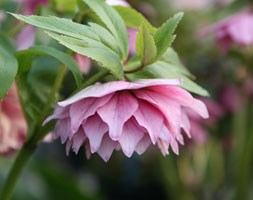 Helleborus x hybridus Harvington  double pink (Lenten rose hellebore)