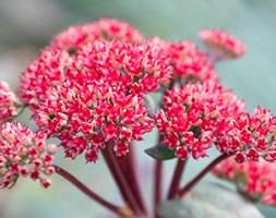Sedum 'Red Cauli' (stonecrop)