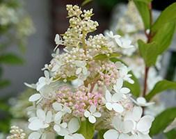 Hydrangea paniculata Confetti ('Vlasveld02') (hydrangea)