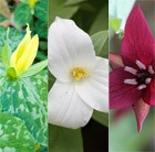 Trillium Collection