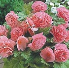 Begonia Blushing Star