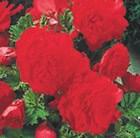 Begonia 'Vibrant Star'