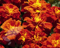 Marigold 'Red Safari' (French marigold)