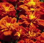 Marigold Red Safari