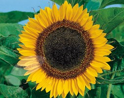 Helianthus 'Tall Single' (sunflower)