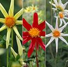 Star Like Dahlia Collection