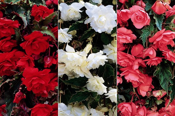 Colour your basket with trailing begonias