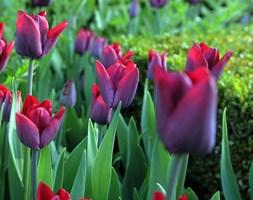 Tulipa 'Greuze' ( single late tulip bulbs)