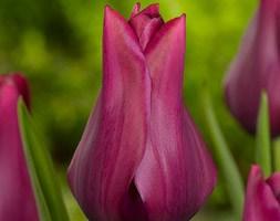 Tulipa 'Merlot' (lily flowered tulip bulbs)