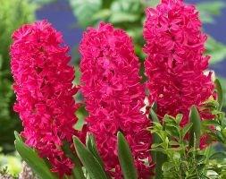 Hyacinthus orientalis 'Jan Bos' (garden hyacinth bulbs)