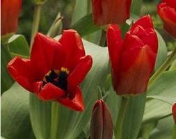 Tulipa 'Madame Lefeber' ( tulip bulbs)
