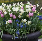Bulbs for pots -  Spring favourites