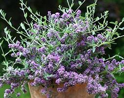 Buddleja davidii 'Unique' (butterfly bush)