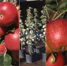 apple Red Falstaff / Scrumptious