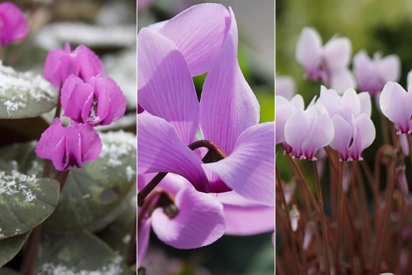 Hardy cyclamen to extend the season