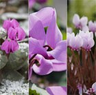 Award-winning hardy cyclamen collection