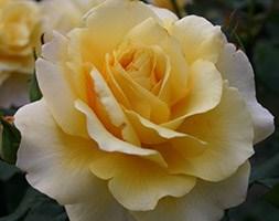Rosa 'Sunny Sky' (Rose of the Year 2016 Rose Sunny Sky)