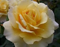 Rosa 'Sunny Sky' (Rose of the Year 2015 Rose Sunny Sky)