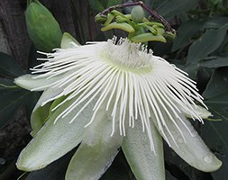 Passiflora 'Snow Queen' (passion flower)