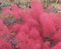 Cotinus 'Ruby Glow' (smoke bush)