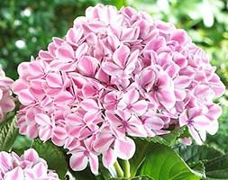 Hydrangea macrophylla Peppermint ('RIE13') (PBR) (lacecap hydrangea)