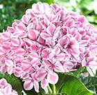 Hydrangea macrophylla Forever & Ever Peppermint ('Rie 13') (PBR)