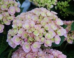 Hydrangea macrophylla Love ('Youme H1917') (PBR) (lacecap hydrangea)