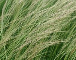 Stipa lessingiana (Siberian steppe grass)