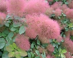 Cotinus 'Candyfloss' (smoke bush)
