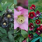 Hellebore Lady Series collection