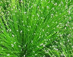 Isolepis cernua (fiber optic plant (syn Scirpus cernuus ))