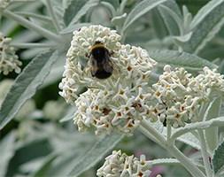 Buddleja 'Silver Anniversary' (PBR) (butterfly bush)