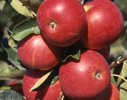 apple 'Scrumptious' (apple - self fertile)