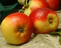 apple 'Ballerina Samba' (Ballerina Series) (ballerina apple)