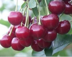 cherry 'Meteor Korai' (cherry)