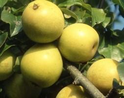 pear 'Benita Rafzas' (pear)