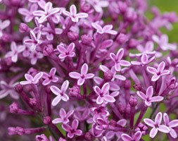 Syringa Bloomerang Dark Purple ('SMSJBP7') (repeat flowering lilac)