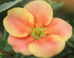 Potentilla fruticosa Orange Lady 'Orange One' (PBR) (shrubby cinquefoil)