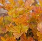 Physocarpus Amber Jubilee ('Jefam') (PBR)