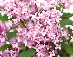 Syringa Bloomerang 'Pink Perfume' (PBR) (repeat flowering lilac)