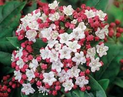 Viburnum tinus 'Lisaroze' (laurustinus)