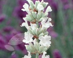 Lavandula angustifolia 'Arctic Snow' (lavender)
