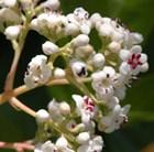 Viburnum 'Le Bois Marquis' (PBR)