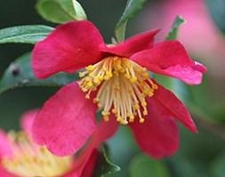 Camellia x vernalis 'Yuletide' (camellia)
