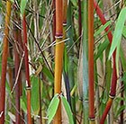 Fargesia Red Panda ('Jiu')