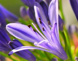 Agapanthus 'Jack's Blue' (African lily)
