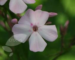 Phlox paniculata 'Discovery' (phlox)