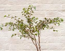 Prunus incisa 'Kojo-no-mai' (Fuji cherry in ceramic patio pot)
