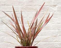 Phormium 'Maori Sunrise' (New Zealand flax (syn. Rainbow Sunrise) in ceramic patio pot)
