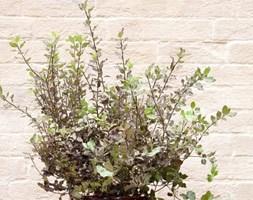 Pittosporum tenuifolium 'Tom Thumb' (kohehu in ceramic patio pot)